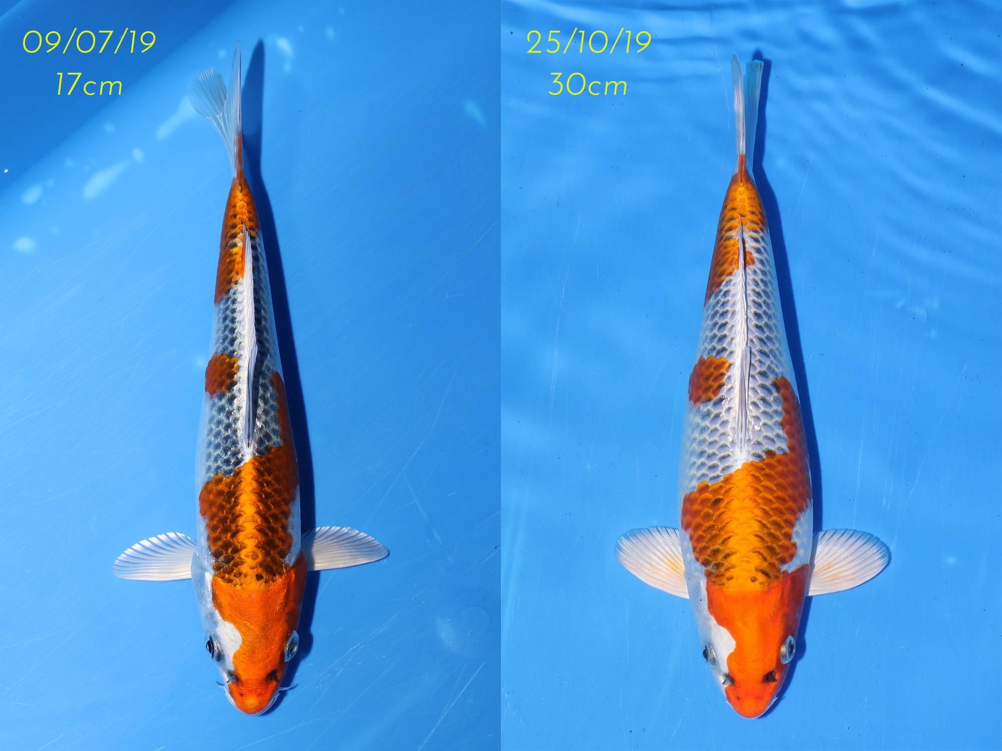 Kujaku_2_Comparison.jpg