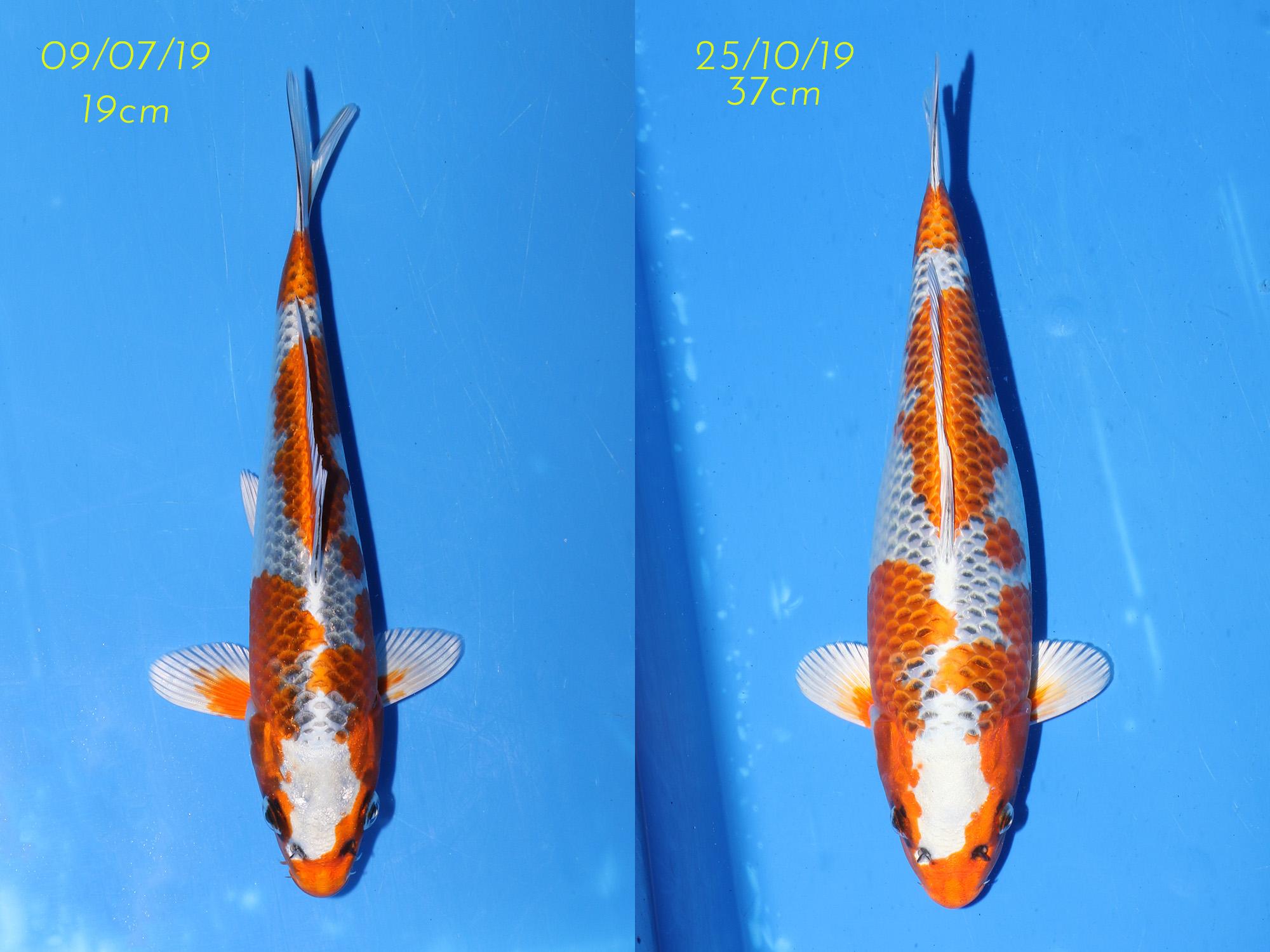 Kujaku_1_Comparison.jpg